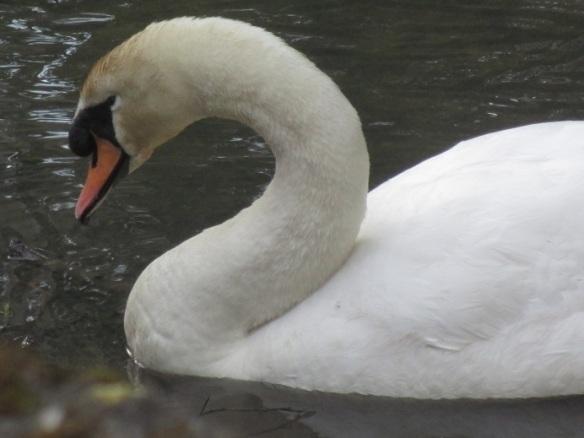 sibelius-5-swan
