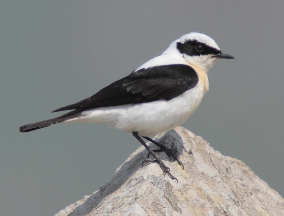 black-eared-wheatear